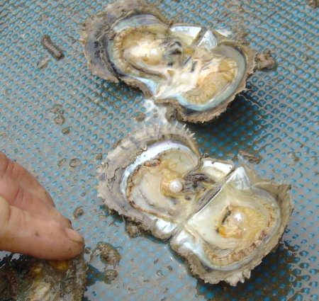 akoya oyster with pearls